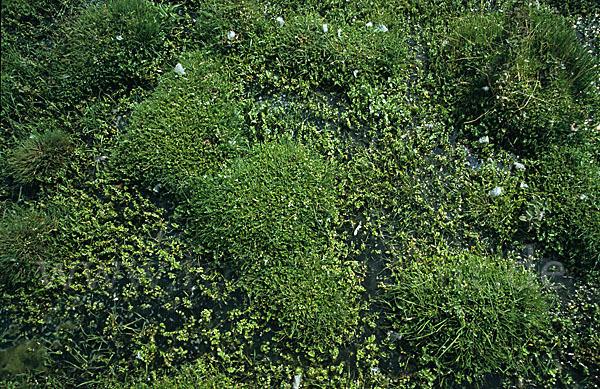 kriechender sellerie apium repens aus pflanzen 6179. Black Bedroom Furniture Sets. Home Design Ideas