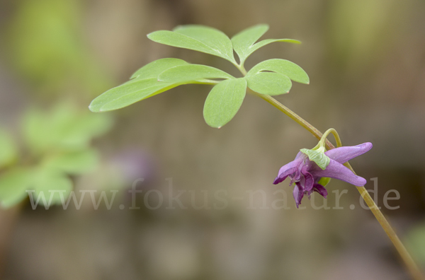 Mittlerer Lerchensporn (Corydalis intermedia)