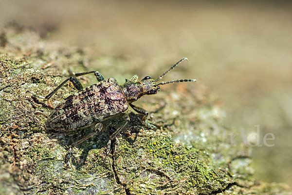 Schrotbock (Rhagium inquisitor)