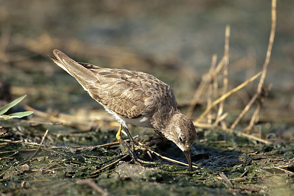 Temminckstrandläufer (Calidris temminckii)