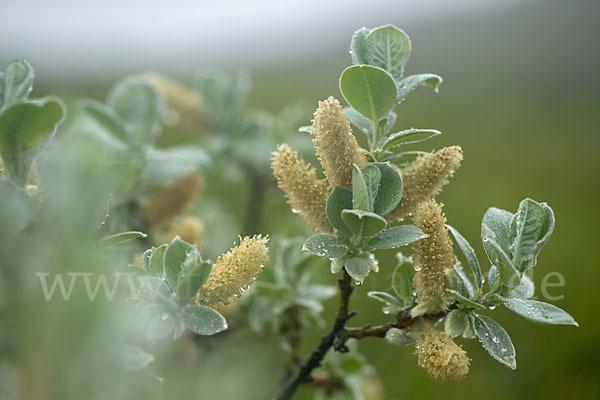 Woll Weide Salix Lanata Aus Pflanzen P47434 Fokus Natur De
