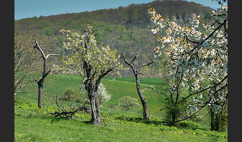 Streuobstwiese (meadow orchard)