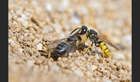 Bienenwolf (Philanthus triangulum)
