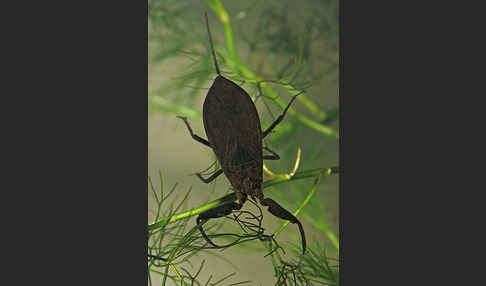 Wasserskorpion (Nepa cinerea)