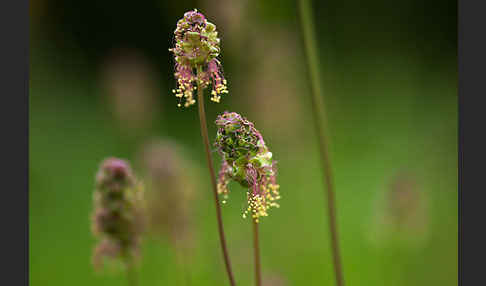 Kleiner Wiesenknopf (Sanguisorba minor)