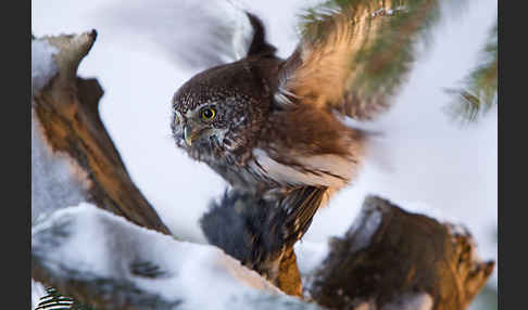 Sperlingskauz (Glaucidium passerinum)
