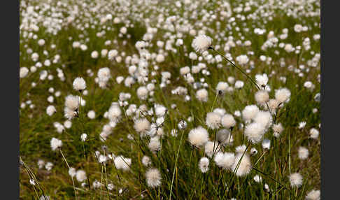 Scheiden-Wollgras (Eriophorum vaginatum)