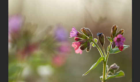 Geflecktes Lungenkraut (Pulmonaria officinalis)