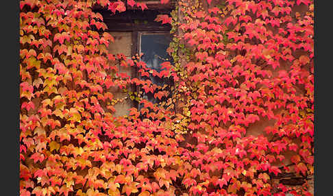 Wilder Wein (Parthenocissus spec.)