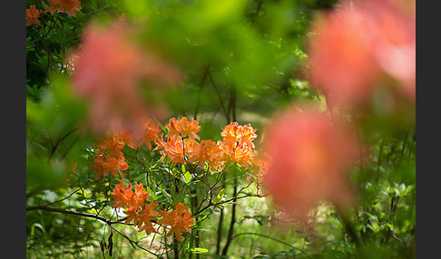 Rhododendron (Rhododendron spec.)