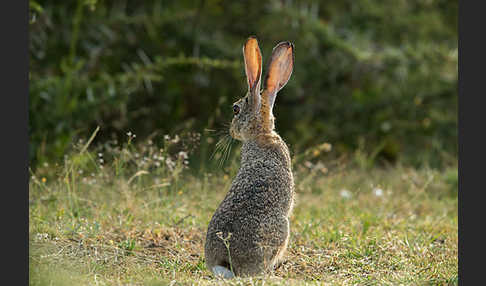 Kaphase (Lepus capensis)